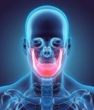 3D Illustration des Unterkiefers, medizinisches Konzept vektor abbildung