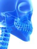 3D Illustration des Unterkiefers, medizinisches Konzept lizenzfreie abbildung