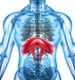 3D illustration of Diaphragm, medical concept. vector illustration