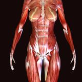 3d illustration of female anatomy. The human body is the entire structure of a human being. It is composed of many different types of cells that together create Stock Photography