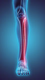 3D illustration of Fibula, medical concept. 3D illustration of Fibula - Part of Human Skeleton Royalty Free Stock Photos