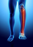 3D illustration of Fibula, medical concept. 3D illustration of Fibula - Part of Human Skeleton Royalty Free Stock Photo