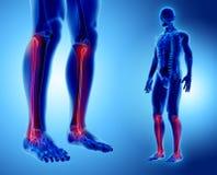 3D illustration of Fibula, medical concept. 3D illustration of Fibula - Part of Human Skeleton Stock Photo
