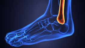 3D illustration of Fibula - Part of Human Skeleton. The fibula or calf bone is a leg bone located on the lateral side of the tibia, with which it is connected Stock Photo