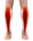3D illustration of gastrocnemius, Part of Legs Muscle Anatomy. Medical concept Stock Photos