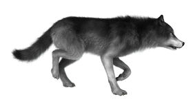 3D Illustration Gray Wolf auf Weiß Stockfotografie