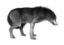 3D illustration Gray Wolf på vit Fotografering för Bildbyråer