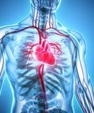 3D illustration of Heart, medical concept. 3D illustration of Heart - Part of Human Organic Royalty Free Stock Images