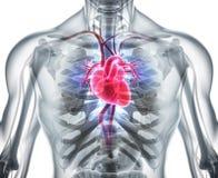 3D illustration of Heart, medical concept. 3D illustration of Heart - Part of Human Organic Stock Images
