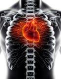 3D illustration of Heart, medical concept. 3D illustration of Heart - Part of Human Organic Stock Photography