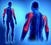 3D illustration d'humérus, concept médical Image libre de droits