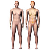 3d illustration  human anatomy Royalty Free Stock Images
