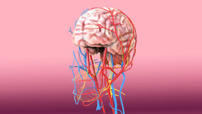 3d illustration of human body brain anatomy Stock Photography
