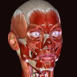 3d illustration of human body face muscles. The facial muscles are a group of striated skeletal muscles innervated by the facial nerve cranial nerve VII that Royalty Free Stock Photos