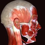 3d illustration of human body face muscles. The facial muscles are a group of striated skeletal muscles innervated by the facial nerve cranial nerve VII that Stock Photography