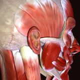 3d illustration of human body face muscles. The facial muscles are a group of striated skeletal muscles innervated by the facial nerve cranial nerve VII that Royalty Free Stock Photo