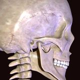 3d illustration of human body face muscles. The facial muscles are a group of striated skeletal muscles innervated by the facial nerve cranial nerve VII that Stock Image