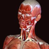 3d illustration of human body face muscles. The facial muscles are a group of striated skeletal muscles innervated by the facial nerve cranial nerve VII that Stock Images