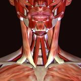 3d illustration of human body face muscles. The facial muscles are a group of striated skeletal muscles innervated by the facial nerve cranial nerve VII that Royalty Free Stock Photography
