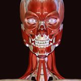 3d illustration of human body face muscles Royalty Free Stock Image