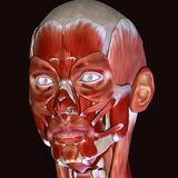 3d illustration of human body face muscles. The facial muscles are a group of striated skeletal muscles innervated by the facial nerve that, among other things Stock Images