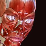 3d illustration of human body face muscles. The facial muscles are a group of striated skeletal muscles innervated by the facial nerve that, among other things Royalty Free Stock Photos