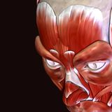 3d illustration of human body face muscles. The facial muscles are a group of striated skeletal muscles innervated by the facial nerve that, among other things Stock Photos