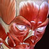 3d illustration of human body face muscles. The facial muscles are a group of striated skeletal muscles innervated by the facial nerve that, among other things Royalty Free Stock Images