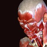 3d illustration of human body face muscles. The facial muscles are a group of striated skeletal muscles innervated by the facial nerve that, among other things Royalty Free Stock Image