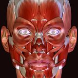 3d illustration of human body face muscles Stock Images