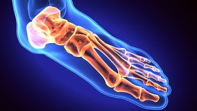 3d illustration of human body feet bone Royalty Free Stock Images