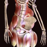 3d illustration of human body hip muscles Stock Photography