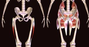 3d illustration of human body hip muscles Royalty Free Stock Photos