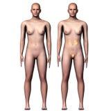 3d illustration human body kindeys Stock Photography
