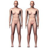 3d illustration human body Large  Intestine Royalty Free Stock Photo