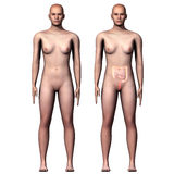 3d illustration human body Large and Small Intestine Stock Photo