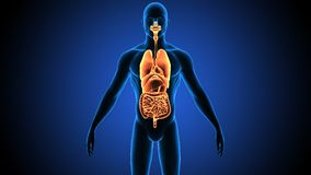 3d illustration of human body organs Stock Images
