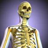 3d illustration of human body skeleton anatomy. The skeleton from Greek σκελετός, skeletós `dried up`[1] is the body part that forms the supporting Royalty Free Stock Image
