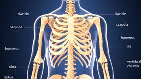 3d illustration of human body skeleton anatomy. The skeleton is the body part that forms the supporting structure of an organism. There are several different Stock Image