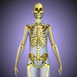 3d illustration of human body skeleton anatomy. The skeleton from Greek σκελετός, skeletós `dried up`[1] is the body part that forms the supporting Royalty Free Stock Images
