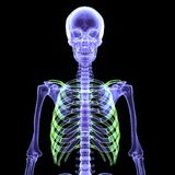 3d  illustration of a human body skeleton. The human skeleton is the internal framework of the body. It is composed of around 300 bones at birth – this total Royalty Free Stock Photography