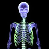3d  illustration of a human body skeleton. The human skeleton is the internal framework of the body. It is composed of around 300 bones at birth – this total Stock Photo
