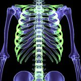 3d illustration human body skeleton. The human skeleton is the internal framework of the body. It is composed of around 300 bones at birth – this total Stock Photography