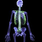 3d illustration human body skeleton. The human skeleton is the internal framework of the body. It is composed of around 300 bones at birth – this total Stock Image