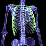 3d illustration human body skeleton. The human skeleton is the internal framework of the body. It is composed of around 300 bones at birth – this total Stock Photo