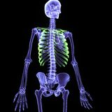 3d illustration human body skeleton. The human skeleton is the internal framework of the body. It is composed of around 300 bones at birth – this total Stock Photos
