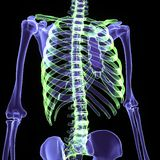 3d illustration human body skeleton. The human skeleton is the internal framework of the body. It is composed of around 300 bones at birth – this total Royalty Free Stock Image