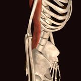 3d illustration  human body skeleton. The human skeleton is the internal framework of the body. It is composed of around 300 bones at birth – this total Royalty Free Stock Photos