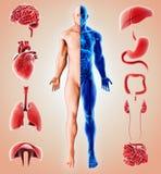 3D illustration of Human Internal Organic. Human Internal Organic, 3D illustration medical concept Stock Photography