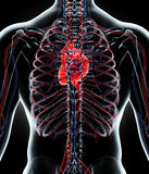 3D illustration of Human Internal System - Circulatory System. Royalty Free Stock Image